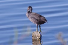 Juvenile American Coot (small).jpg