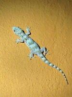 African House Gecko.JPG