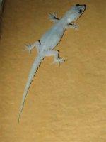 African House Gecko (1).JPG