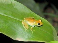 Boophis viridis.JPG