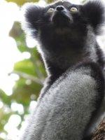 Indri 3.JPG