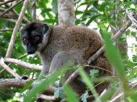 Common Brown Lemur.JPG
