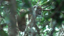lemur easterngreybamboo (4).jpg