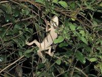 Mossy Leaf-tailed Gecko.JPG