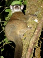 Small-toothed Sportive-Lemur.JPG