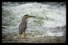 Heron%2C%20Striated%20%231-X2.jpg