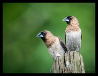 Munia%2C%20White-rumped%20%231-X2.jpg