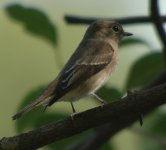 AsianBrownFlycatcher.JPG