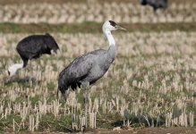 Hooded Crane jap 1.jpg