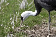 Hooded Crane jap 3.jpg