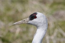 Hooded Crane jap 4.jpg