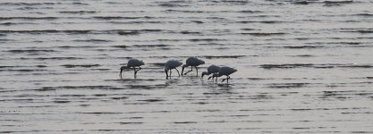 Black-faced Spoonbills jap 2.jpg