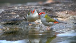 Red-browed Finches4Syd GH4 sts80hd 4k 9Mar 2015.jpg