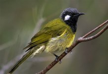 White-eared Honeyeater2 Syd GH4 sts80hd 9Mar 2015.jpg
