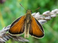 Essex_Skipper_Teme_Valley_27.07.15_BRS_11.jpg