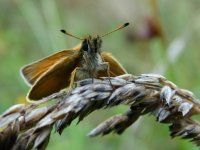 Essex_Skipper_Teme_Valley_27.07.15_BRS_22.jpg