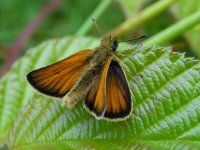 Essex_Skipper_Teme_Valley_27.07.15_BRS_33.jpg