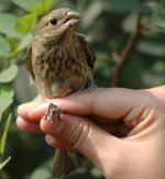 9c.CommonRosefinch.JPG