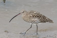 curlew1 with tc P.jpg