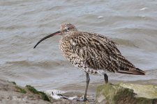 curlew 840mm 1.jpg