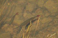 Common Rudd (Roach) scardinius eryhropsalmus 01.JPG
