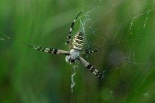 Wasp Spider argiope bruennichi 02.JPG