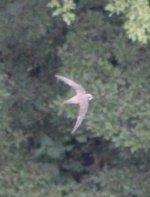 Alpine Swift 4.jpg
