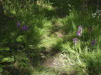 early purple orchid may 16 2016 3.jpg