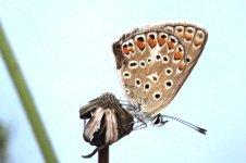 Chapman's Blue polyommatus thersites 01.JPG