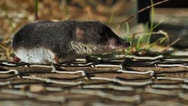 water shrew, Fowlmere (6).jpg