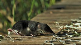 water shrew, Fowlmere (2).jpg
