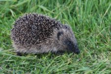 20160926 (26)_Hedgehog.JPG