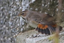 20160928 (21)_Bluethroat.JPG