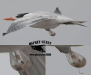 "Royal Tern with mysterious ""conjoined"" head on its body flank.jpg"