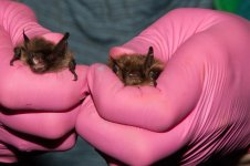 Whiskered - Brants Bat.jpg