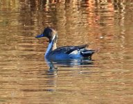 NorthernPintail-001f.JPG