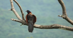 DSC06971 Greater Coucal @ Pui O.JPG