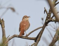 Rufous Bush Chat_Oued Massa_100417a.jpg