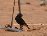 WC Black Wheatear_Yasmina_190417a.jpg