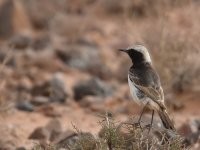 Red Rumped Wheatear_Tagdilt_180417a.jpg