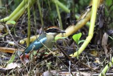 fairy pitta looking for worms.JPG