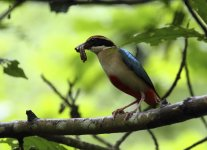 fairy pitta side.JPG