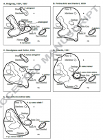 Pyrocephalus 2.png