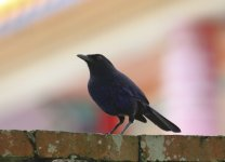 taiwan whistling thrush at temple.JPG