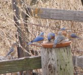 Bluebirds galore 12-26-17.jpg