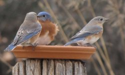 Bluebirds -male 2 females -12-26-17.jpg