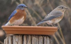 Bluebirds male-female 12-26-17.jpg