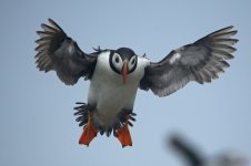 Puffin (reduced).jpg