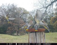 Cedar wax wings fly trail Cam 4-25-18.jpg