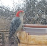 Trail C woodpecker Red Belly - lll -.jpg